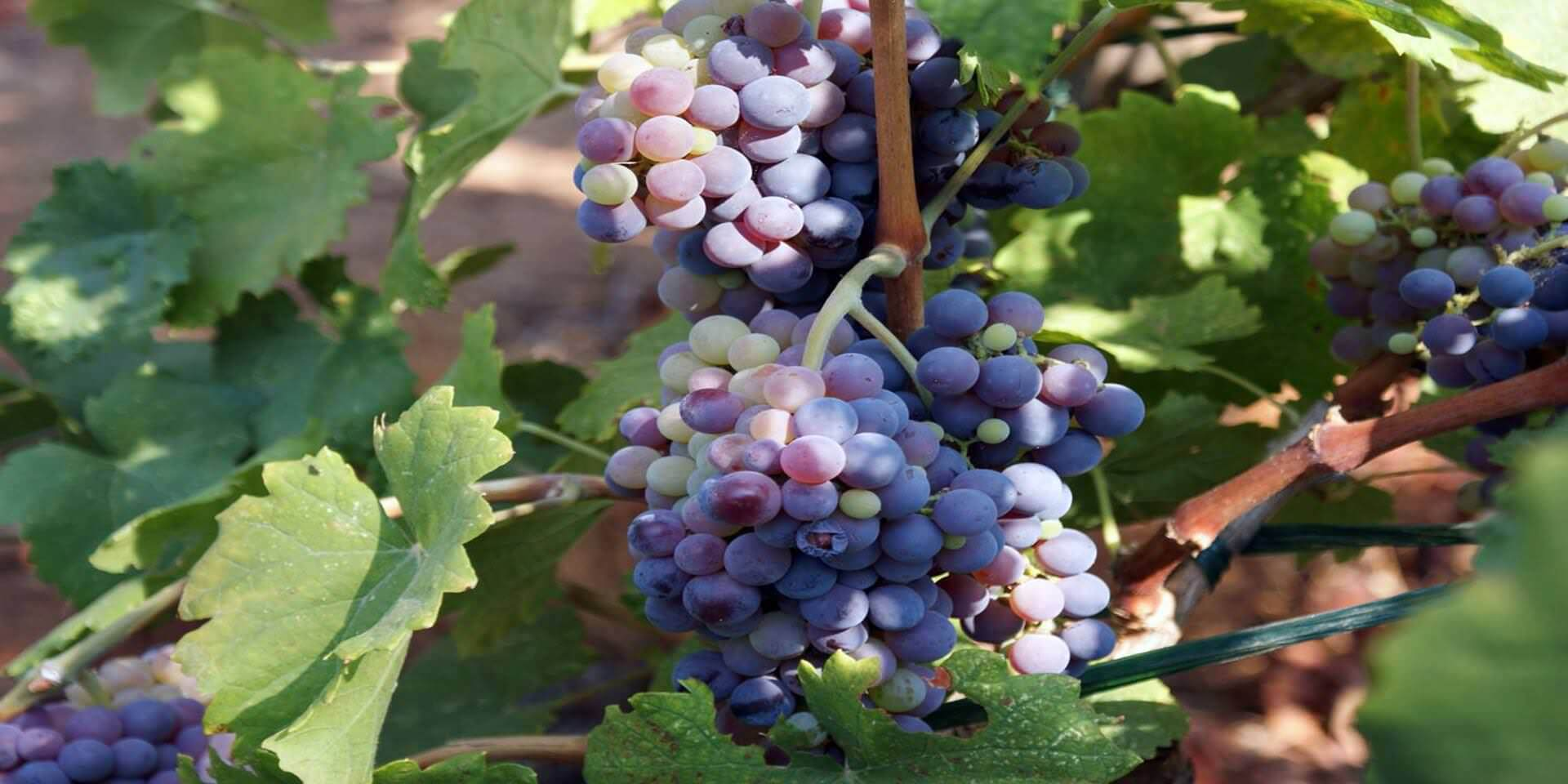 grapes_in_aigialia