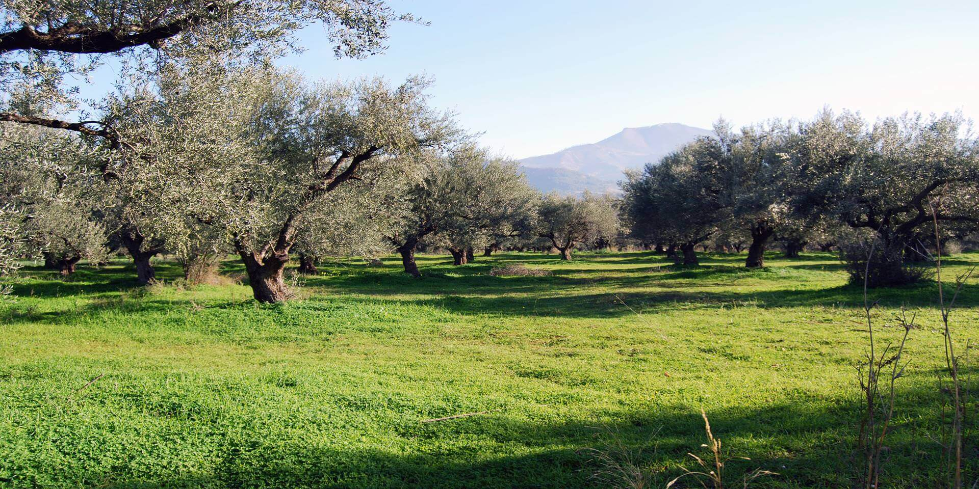 olive_trees_in_aigialia